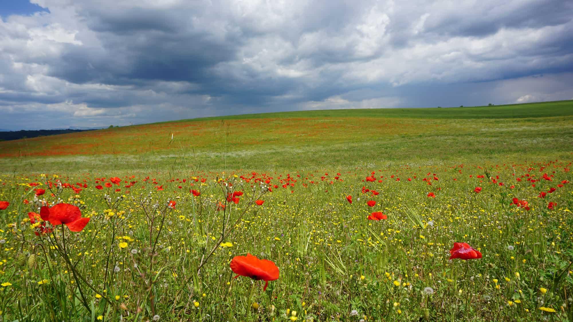 Fleurs sauvage sur le plateau de Valensole
